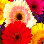 """Colorful Gerber Daisies"" by AmyVangsgard"