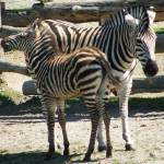 """Zebra baby and mother"" by mmersdesign"