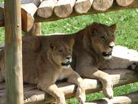Lions at the zoo III