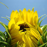 """SUN FLOWER Art Prints Sunlit Sunflower Baslee"" by BasleeTroutman"