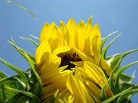 SUN FLOWER Art Prints Sunlit Sunflower Baslee