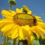 """SUN FLOWER Summer Garden 9 Sunlit Sunflower Prints"" by BasleeTroutman"