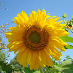 """SUNFLOWER Botanical 2 Blue Sky Art Baslee Troutman"" by BasleeTroutman"