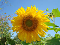 SUNFLOWER Botanical 2 Blue Sky Art Baslee Troutman