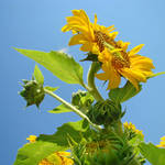 """SUNFLOWER Weather Forecast Sunny Baslee Troutman"" by BasleeTroutman"