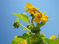 SUNFLOWER Weather Forecast Sunny Baslee Troutman