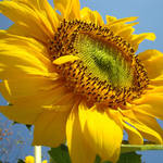 """SUNFLOWER Sunny Blue Sky Art Giclee Baslee Trout"" by BasleeTroutman"