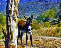 Donkey Behind Barbed-Wire Fence #2