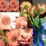 """montage of gerber daisies"" by CraftHippie"