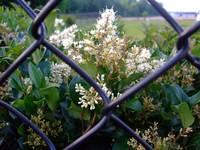 flowers through a fence.