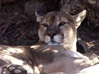 Cougar - Mountain Lion