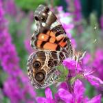 """American Lady Butterfly"" by aaron_c"