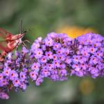 """Hummingbird Moth"" by aaron_c"