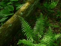 Fern and Log