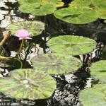 """Pink Water Lily in Conservatory Pond"" by Groecar"
