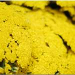 """Yellow"" by UMass"