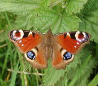 Peacock butterfly on nettle