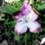 """azalea"" by mandlesgirl"