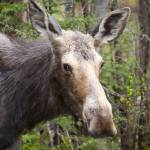"""Moose - White Mountains, New Hampshire USA"" by ScenicNH"