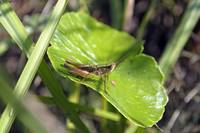 Short Winged Green Grasshopper