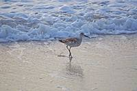 Sandpiper At The Beach