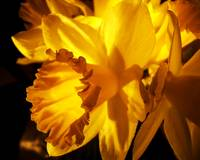 Illuminated Daffodil