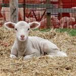 """Spring Lamb"" by Snoshuu"