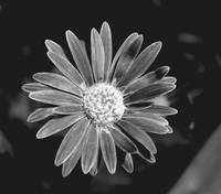 Black & white Gerber daisy