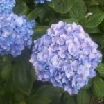 """blue flower"" by Samme"