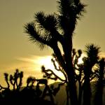 """Joshua Tree National Park 03/2006"" by photojoe"
