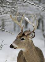 Buck in Winter