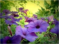 purple flowers 2
