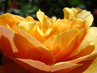 OFFICE ART Prints ROSE Orange Baslee Troutman