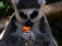 Lemur Eating