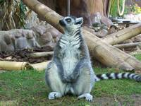 Fat Lemur