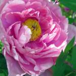 """Pink Tree Peony"" by bettymackey"