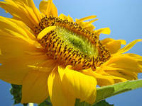 SUN FLOWERS Giclee Art Prints Sunflower Baslee