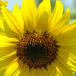 """SUN FLOWERS Yellow Sunlit SUNFLOWER Art"" by BasleeTroutman"