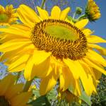"""SUNFLOWERS Art Prints SUN FLOWER Art"" by BasleeTroutman"