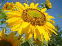 SUNFLOWERS Art Prints SUN FLOWER Art