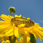 """SUNFLOWER Garden Landscape Sun Flowers Art"" by BasleeTroutman"