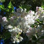 """White on White-Apple Blossoms"" by KeithSwenson"