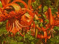 Tiger Lilly Royal Family
