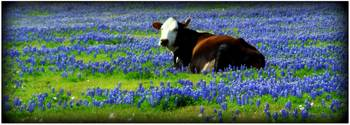 A bed of bluebonnets...