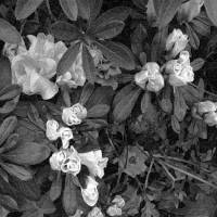 Flowers in Black and White by Patricia Schnepf