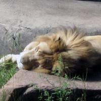 The Lion Sleeps... by Patricia Schnepf