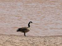 Goose by the sea