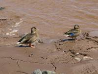 Mallard ducks by the sea 2