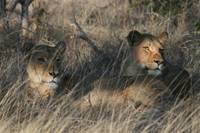Relaxed Lionesses