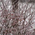 """""""Icy branches"""" by flashesofnature"""